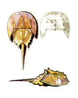 Horseshoe Crab Notebook
