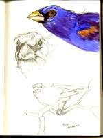 Blue Grosbeak Notebook